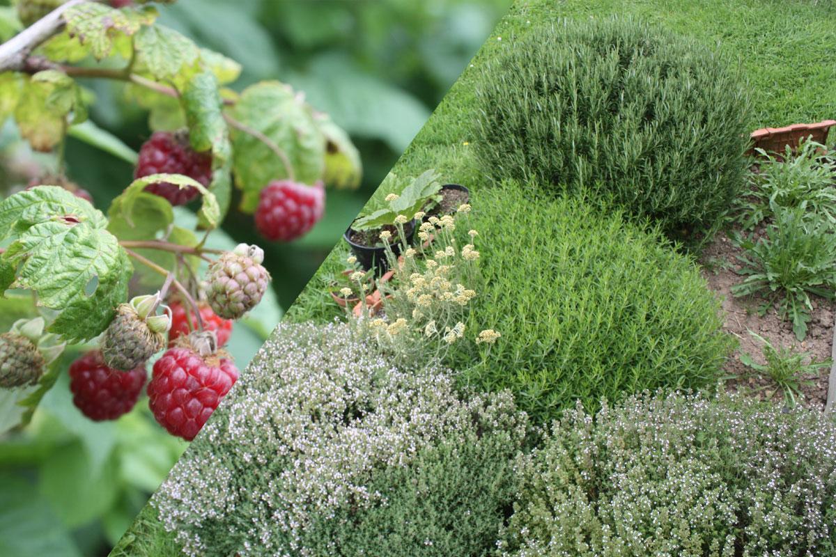 Développer mon herberie bio (plantes aromatiques, médicinales et fruits rouges)