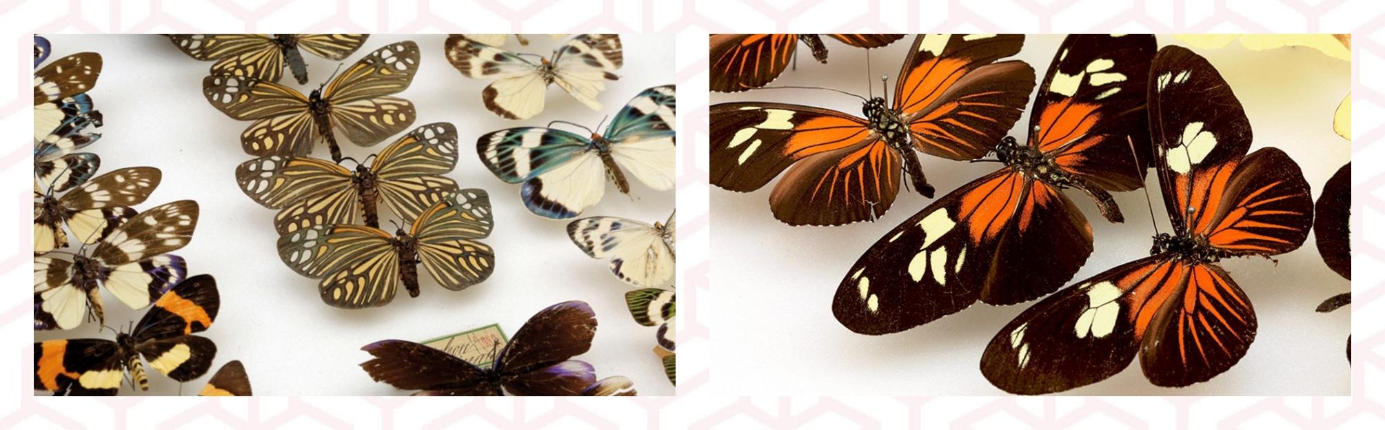 la métamorphose du Musée des papillons