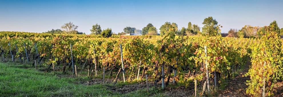 rangées vignes