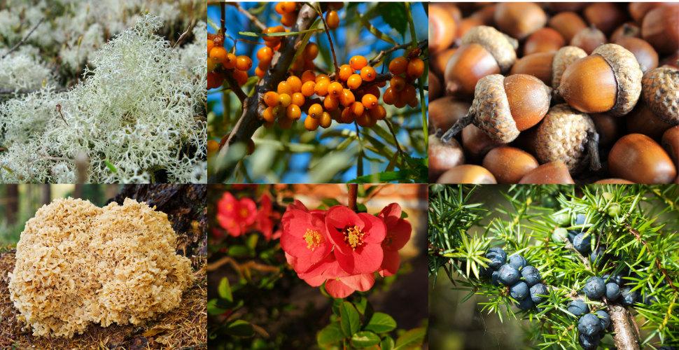 Fattig student? Hitta ätbara växter i naturen!