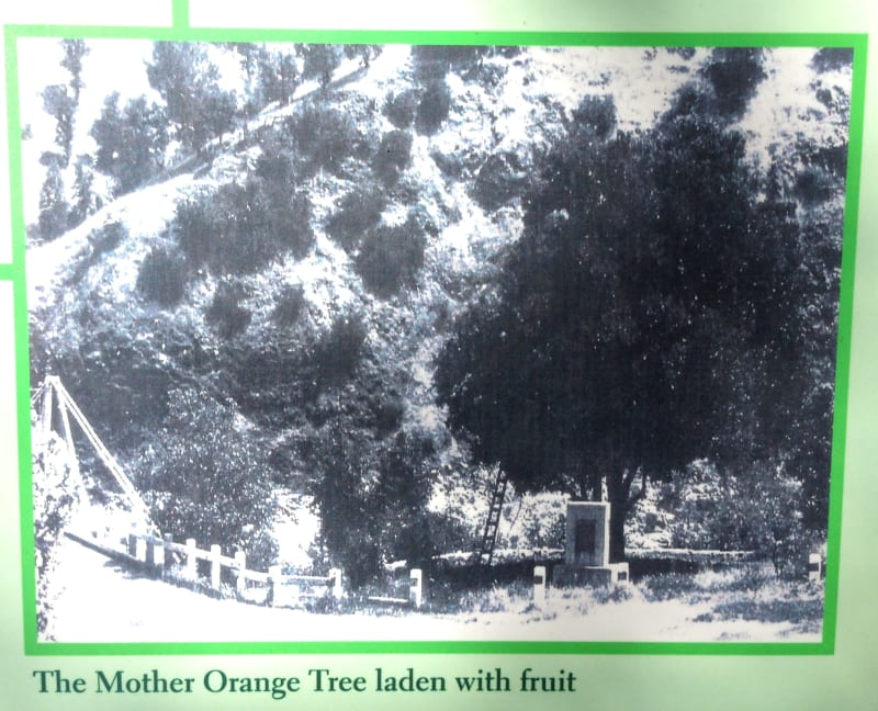 NO. 1043 Mother Orange Tree of Butte County - Original Location