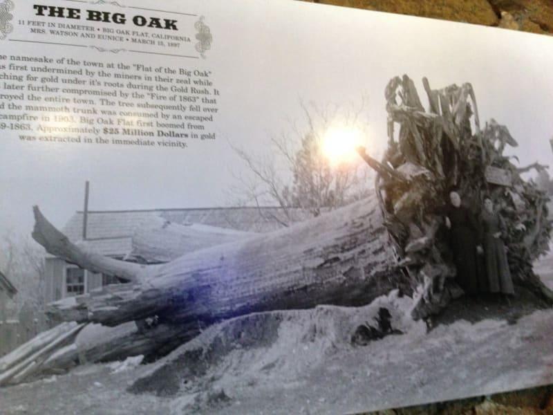 NO. 406 BIG OAK FLAT - Picture of the Old Big Oak