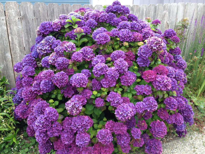 NO. 216 TOWN OF TRINIDAD - Local Hydrangeas