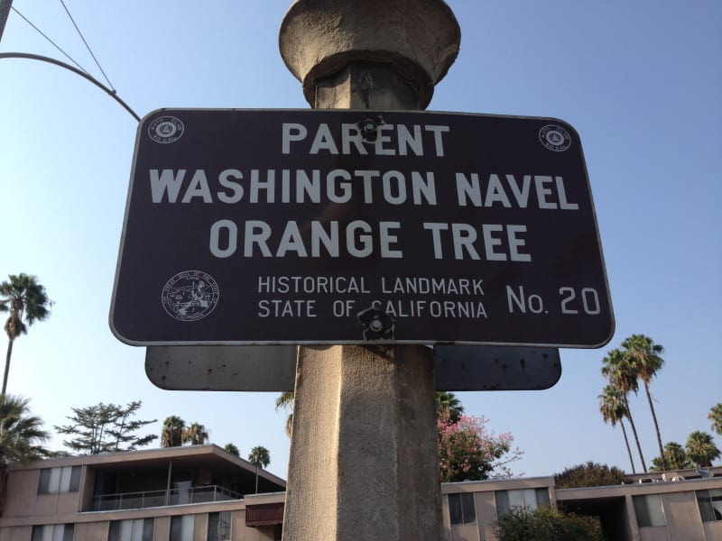 NO. 20 PARENT WASHINGTON NAVEL ORANGE TREE -