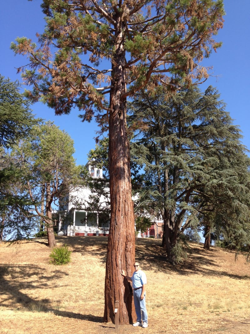 CHL #312 -John Muir National Historic Site - Sequoia planted by John Muir.