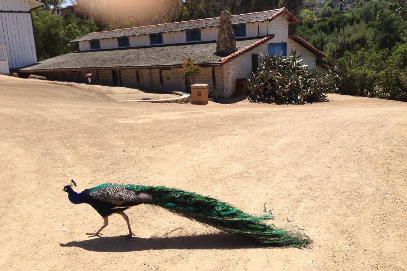 CHL #1020 - Carrillo Ranch Peacock