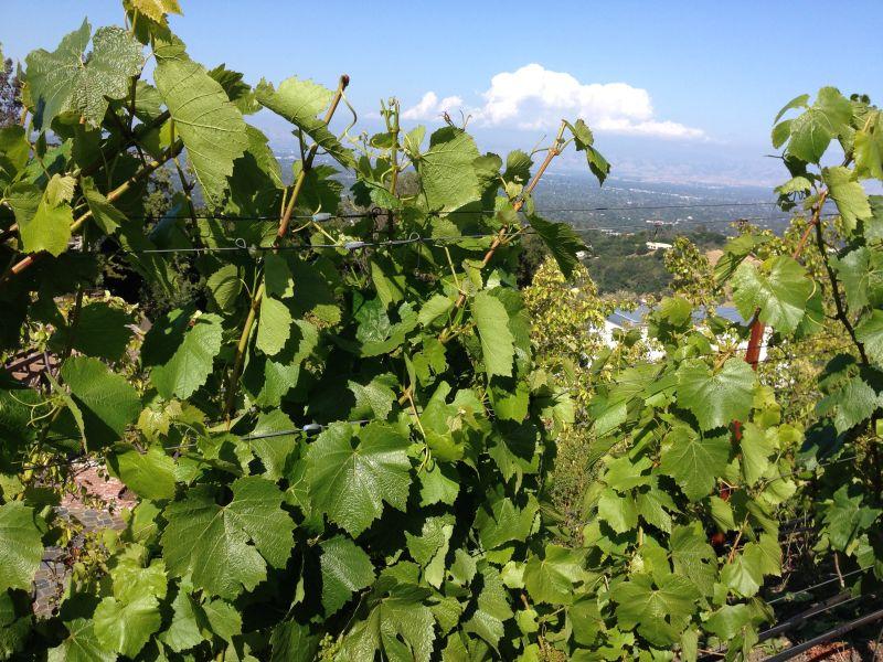 NO. 733 PAUL MASSON MOUNTAIN WINERY - Vineyard