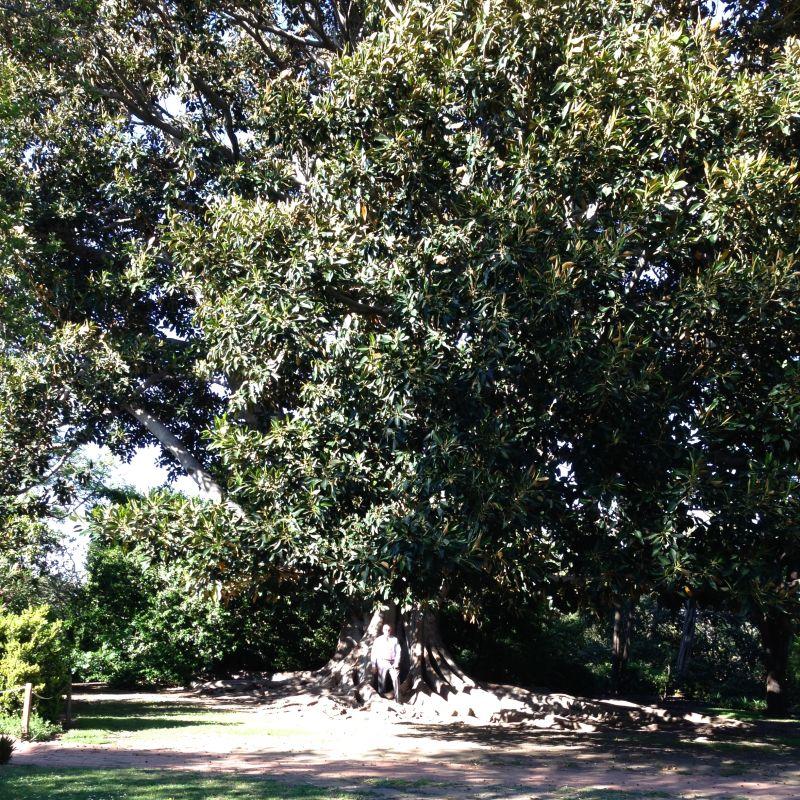 NO. 978 RANCHO LOS CERRITOS HISTORIC SITE - Giant Tree