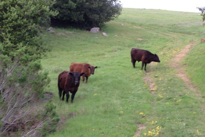 NO. 1025 UKRANIA, (UKRAINIA) - Watch out for cows!