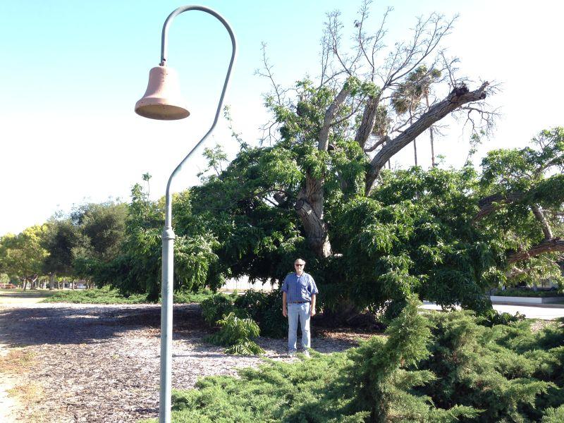 NO. 681 PARADOX HYBRID WALNUT TREE -