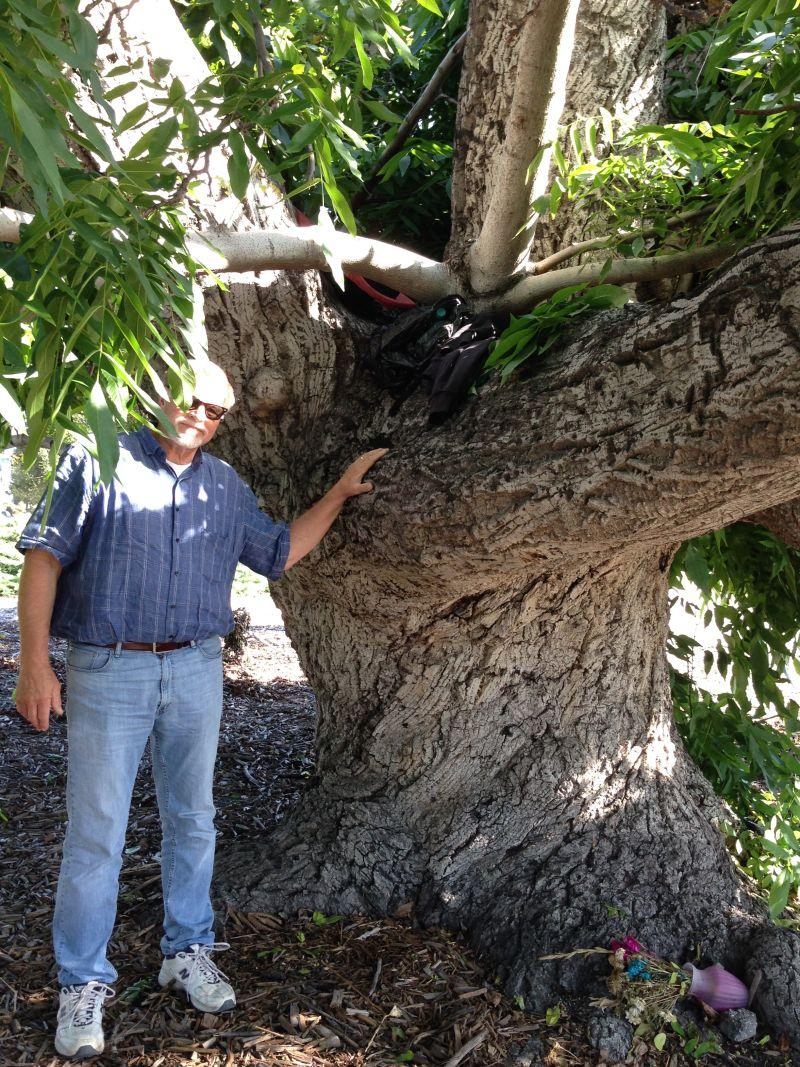 NO. 681 PARADOX HYBRID WALNUT TREE - Huge Trunk