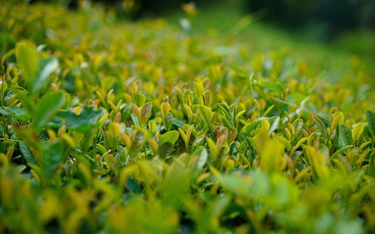 Kumamoto's tea field
