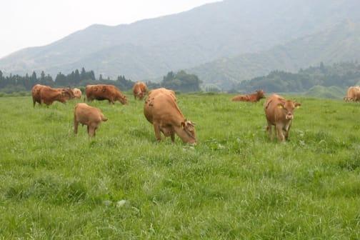 Raising Kumamoto's famed Japanese Brown Cattle