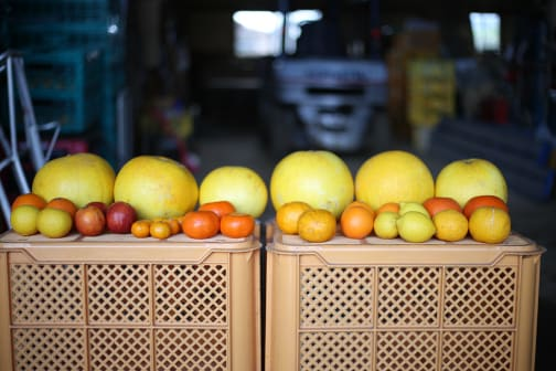 Cultivating the world's largest citrus fruit in Kumamoto