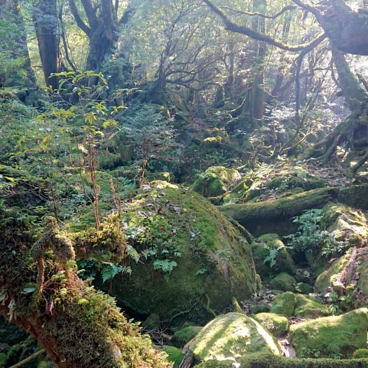 Yakushima: Trekking through Japan's thousands-year-old forest
