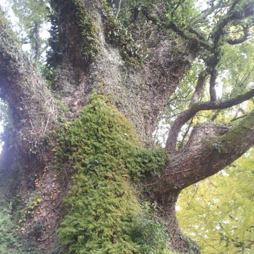 Kamo no Okusu Camphor Tree