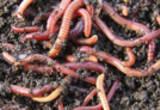 Vermiculturist photograph