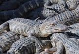 Alligator Farmer Thumbnail