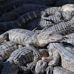 Alligator Farmer