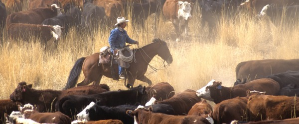 The people who own or operate a ranch are called ranchers, and they raise livestock such as cattle or sheep, or less common livestock such as elk, bison, ostrich, emu or alpacas.