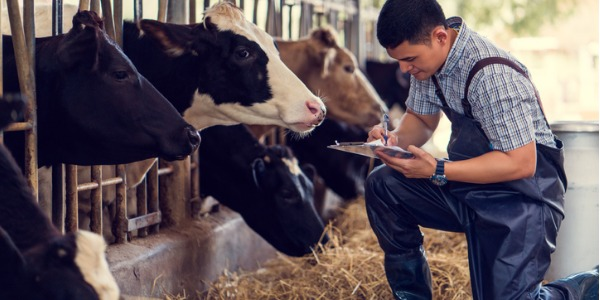 A dairy herdsperson works with the maintenance, breeding, and health of beef and dairy cattle.