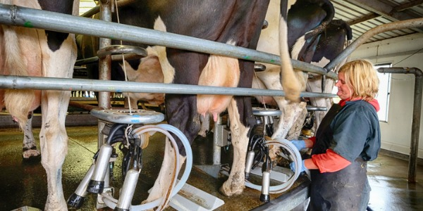 A dairy farmer is someone who owns or manages a farm where cows are raised for the production of milk and other dairy products.