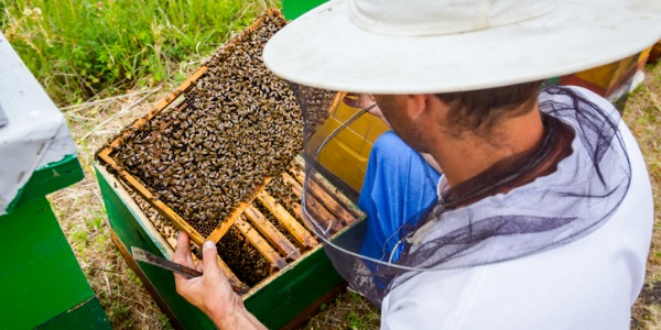 A beekeeper maintains and monitors bee hives, and once the honey is ready to be harvested, will remove and process it for human consumption.