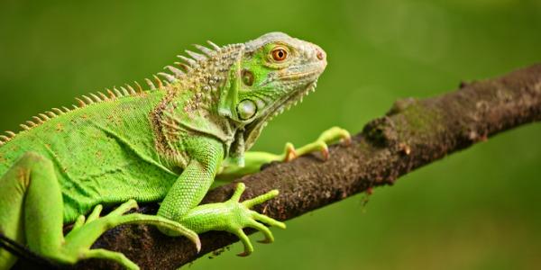 A herpetologist watching an iguana on a branch.