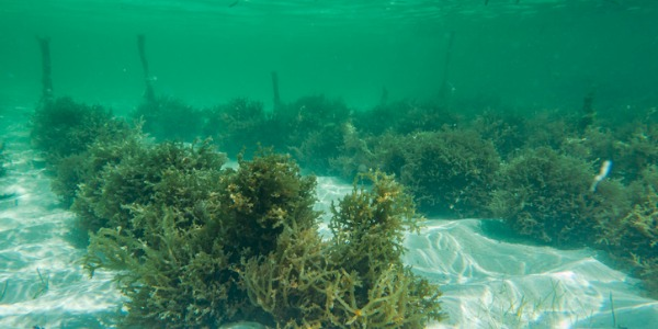 Picture of an underwater seaweed farm.