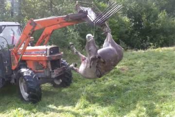 Wie kann man eine  Hirschkuh mit einem Esel verwechseln? - 4 Esel tot