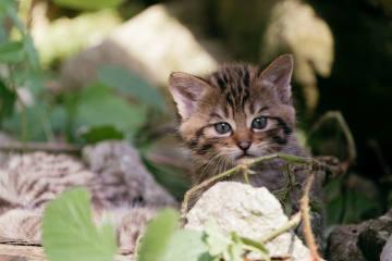 Familienglück bei den Goldauer Wildkatzen