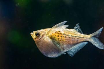 Beilbauchsalmler - Fische mit Flugmotor