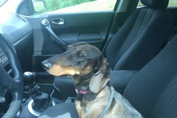 Für Hunde in parkierten Autos wird es schnell lebensgefährlich