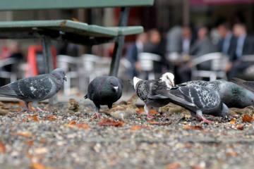 Stadttauben sind in Bern kein Ärgernis