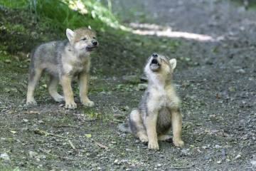 Nachwuchs bei den Mongolischen Wölfen im Zoo Zürich