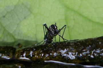 Asiatische Stechmücken breiten sich in Graubünden aus