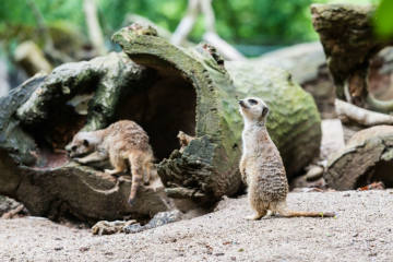 Zoo Basel hofft auf Nachwuchs bei den Erdmännchen