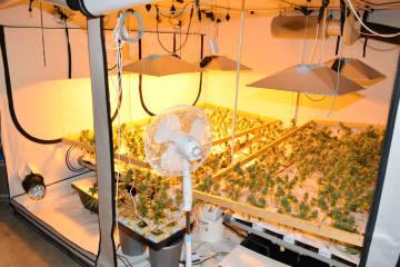 Beromünster LU - Hanfindooranlage mit über 730 Drogenpflanzen ausgehoben Beromünster