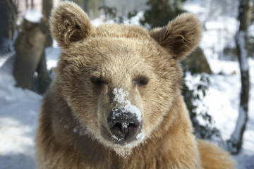 Rekordbärin Fränzi im Tierpark Goldau gestorben