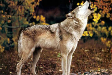Zinal VS - Wolf greift 16 Schafe an