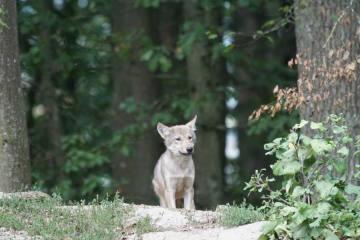 Berner Konvention - Schweiz beantragt Rückstufung des Schutzstatus des Wolfs