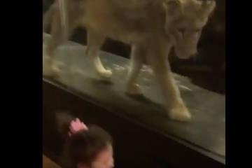 Istanbuler Café führt Kunden Löwen hinter Glas vor