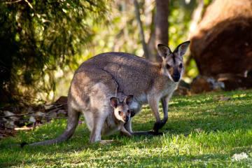 Meuselwitz TH - Känguru mit Baby verschwunden