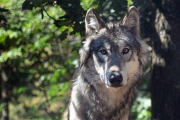 SMS-Warndienst Wolf im Kanton Zürich lanciert