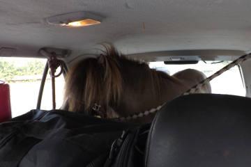 Münster NRW - Mann transportiert Pferd in einem PKW