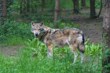 Wolfsalarm im Kanton Uri