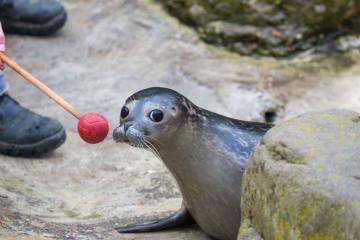 Seehunde im Zoo Zürich trainieren für den Ernstfall