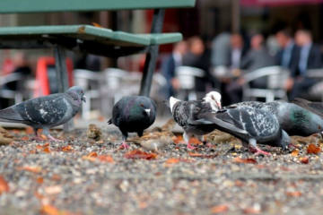 Taubenzählung in Bern