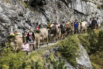 Alpabzug Flims mit Kuh-Cam mitverfolgen