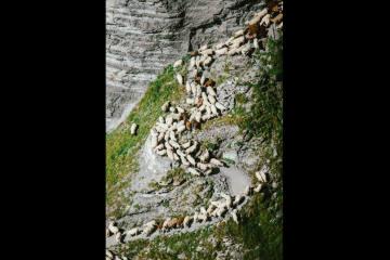 Zahlreiche Schafe unterwegs auf dem Gemmiweg
